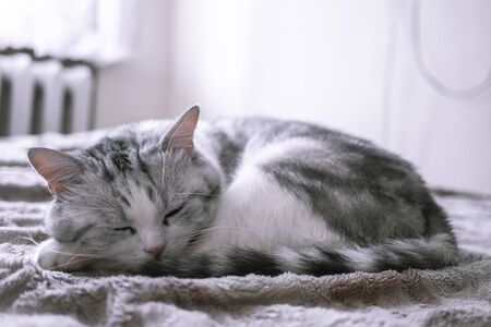Beautiful British cat sleeps in bed curled up. pet comfortably in a homely atmosphere. white cat with gray stripes. Archivio Fotografico