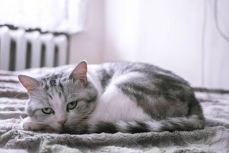 beautiful British cat licking in bed and looking at the camera.  pet comfortably in a homely atmosphere.  white cat with gray stripes.