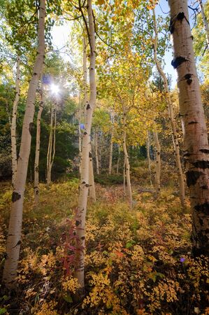 ground cover: A stand of autumn aspens with colorful ground cover