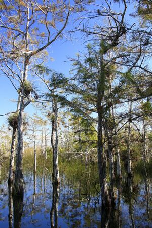 Reflection of Cypress trees in Florida Everglades Stock Photo - 4008092