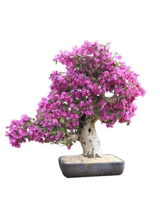 Blooming Purple Bougainvillea Bonsai Tree Stock Photo