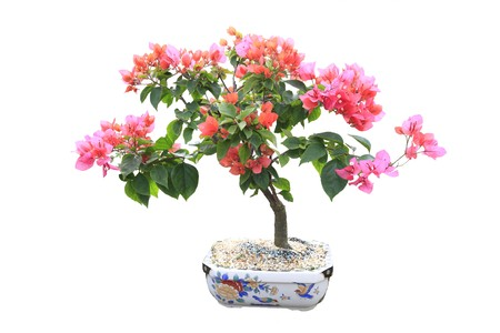 Blooming bourgainvillea bonsai on white