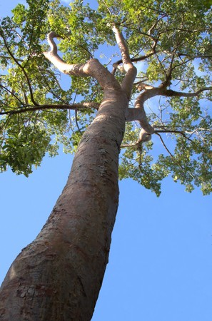 limbo: Single Gumbo Limbo tree towering into the sky Stock Photo