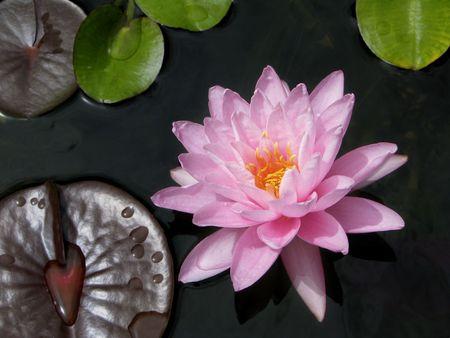 Closeup of tropical water lily(Brachyceras)  Stock Photo - 4675446