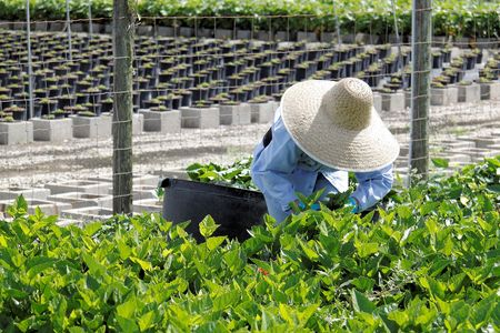 Close up of a female agricultural worker taking care of nursery crop photo