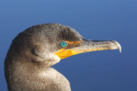 Close up of Double Crested Cormorant against the blue sky