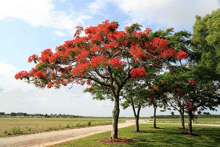 Royal Poinciana Tree (Delonix Regia) 3 Stock Photo