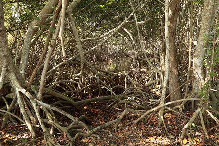 Red Mangrove Trees 1 Stock Photo