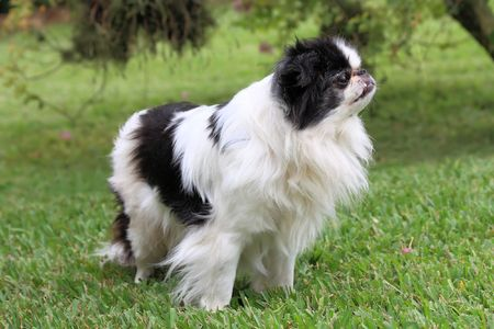 Black and white Japanese Chin relaxing in the grass Banco de Imagens