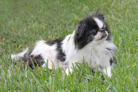 Black and white Japanese Chin relaxing in the grass Stock Photo