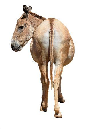 donkey: Gezicht op de achter-eind van een ezel.