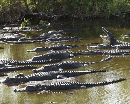 Group of American Alligators (Alligator Mississippiensis) basking in the sun in the Florida Everglades during the winter drought photo