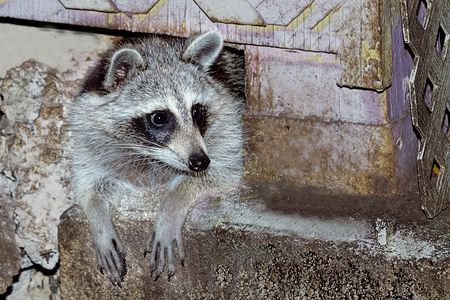 Urban Raccoons nesting under residential homes photo