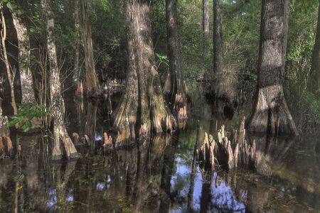 marsh plant: Bald Cypress trees with roots (knees) in the Florida everglades Stock Photo