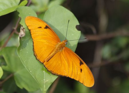 Close up of a Julia (Dryas Julia) Butterfly Stock Photo - 6181623