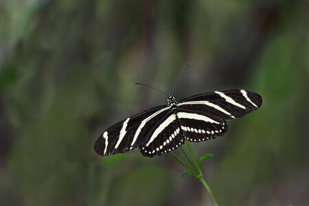 Close up of a Zebra longwing (Heliconius Charitonius) Butterfly Stock Photo