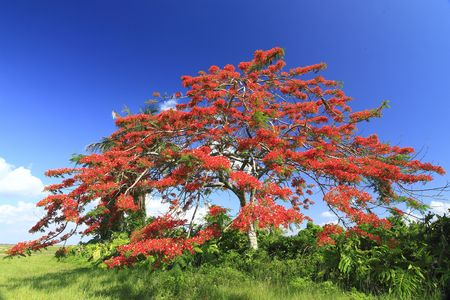 Royal Poinciana Tree (Delonix Regia) aka Flame Tree or Peacock Flower