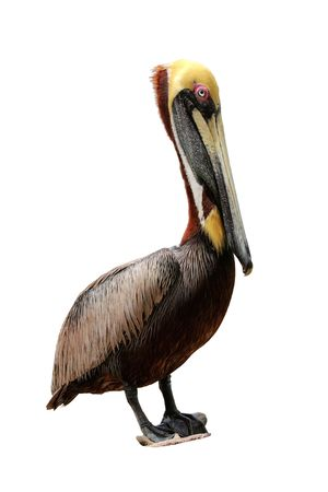 Isolated Close-up of the Florida Brown Pelican Stock Photo
