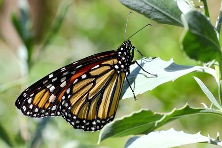 plexippus: Close-up of a monarch butterfly (Danaus plexippus) Stock Photo