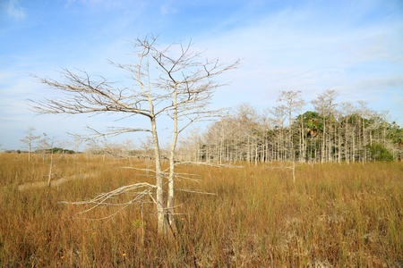 Everglades Winter Landscape with a dwarf Cypress tree in the foreground and a hammock (island) in the background on the dry edge of a slough photo