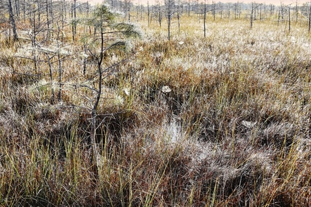 sawgrass: Landscape with spider webs and dew in the early morning in the Florida Everglades
