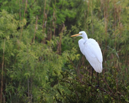 sawgrass: Great White Egret (Ardea alba), perching on a branch in the Florida Everglades