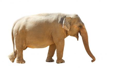 Asian Elephant (Elephas maximus)  isolated on white background photo