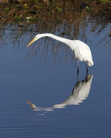 Great White Egret (Ardea alba) in the Florida Everglades Stock Photo - 10906303
