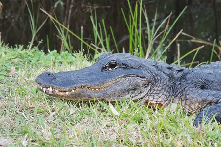 alligator eyes: American Alligator (Alligator Mississippiensis) basking  in the sun in the Florida Everglades