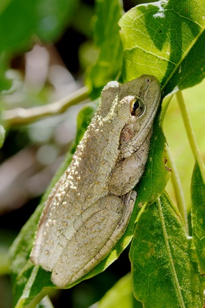 invasive species: A Cuban Tree Frog ( Osteopilus septentrionalis) resting on a leaf in the Everglades National Park