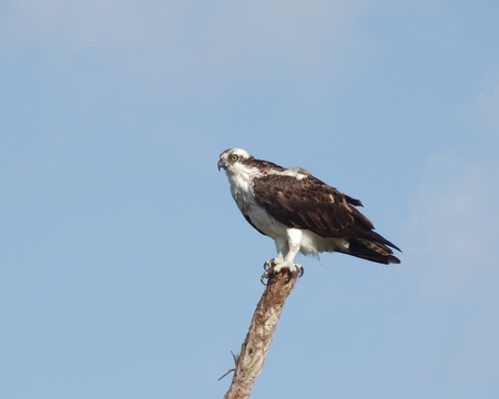 osprey bird: An Osprey (Pandion haliaetus) perching on a branch in the Florida Everglades looking for something to eat. Stock Photo