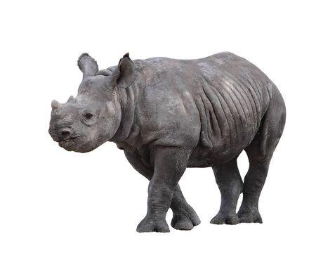 Indian rhinoceros (Rhinoceros unicornis) or one-horned Rhino is native to Nepal and India
