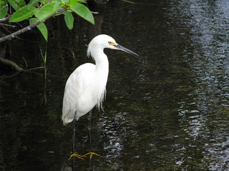 Snowy Egret (Egretta thula) waiting for something to eat in a pond in the Florida Everglades National Park photo