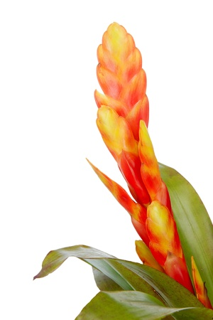 Close up of a beautiful blooming bromeliad or airplant isolated on white Stock Photo - 13810856