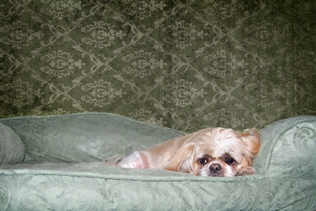 Sad looking Shih Tzu on his dog bed Stock Photo - 13810870