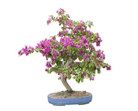 Blooming Bougainvillea Bonsai Tree, isolated on white and in a blue Chinese pot photo