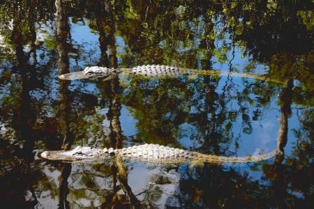 Amerikai aligátorok (Alligator mississippiensis) fürdenek a nap a floridai Everglades Stock fotó