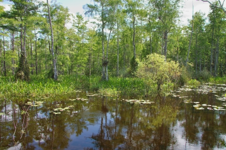 Táj kilátás Mocsári ciprus fák (Amerikai mocsárciprus) nő a víz a Big Cypress Nemzeti Rezervátum, északra a floridai Everglades Stock fotó