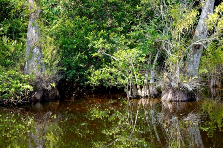 Landscape with view of Bald Cypress trees (Taxodium distichum) growing in the waters of the Big Cypress National Preserve, just north of the  Florida Everglades Stock Photo