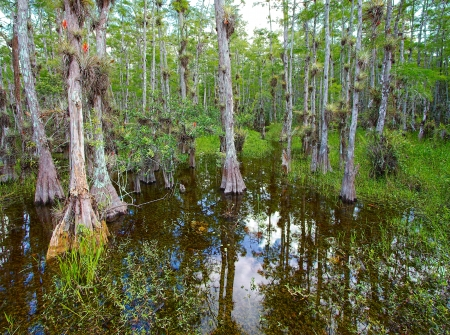 Landscape with view of Bald Cypress trees (Taxodium distichum) growing in the waters of the Big Cypress National Preserve, just north of the  Florida Everglades Фото со стока - 13925311