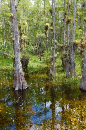 Landscape with view of Bald Cypress trees (Taxodium distichum) growing in the waters of the Big Cypress National Preserve, just north of the  Florida Everglades Stock Photo - 13925319