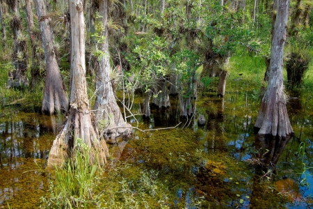 Landscape with view of Bald Cypress trees (Taxodium distichum) growing in the waters of the Big Cypress National Preserve, just north of the  Florida Everglades Фото со стока