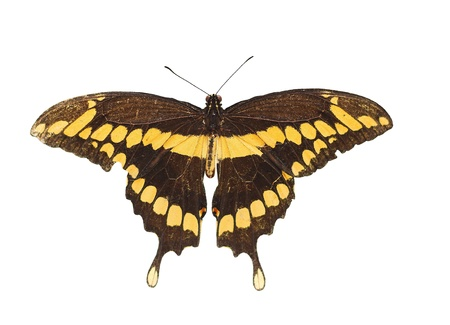 dorsal: Dorsal view close up of a Giant Swallowtail  Butterfly  (Papilio Cresphontes) isolated on white