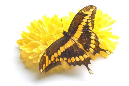 dorsal: Vista dorsal de cerca de un gigante mariposa cola de golondrina (Papilio Cresphontes) que descansa sobre una flor amarilla sobre fondo blanco