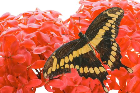dorsal: Dorsal view close up of a Giant Swallowtail  Butterfly  (Papilio Cresphontes)resting on a  pink Hydrangea flower,  isolated on white