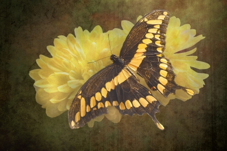 Dorsal view close up of a Giant Swallowtail  Butterfly  (Papilio Cresphontes)resting on a  yellow flower on a grungy textured background photo