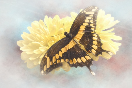 dorsal: Dorsal view close up of a Giant Swallowtail  Butterfly  (Papilio Cresphontes)resting on a  yellow flower on a grungy textured background