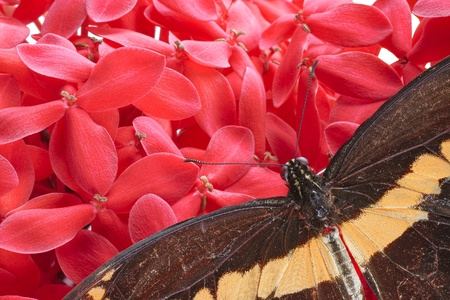 dorsal: Vista dorsal de cerca de una mariposa gigante de Swallowtail (Papilio cresphontes) descansando sobre una flor rosada del Hydrangea