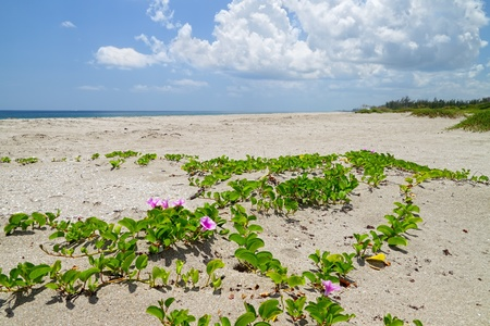 Beautiful scenic beach dunes with Railroad vine flowers (Ipomoea Pes-caprae)of the morning glory family of plants photo