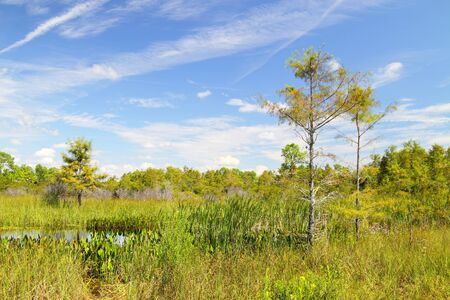 sawgrass: Scenic view from the Upper Wagon wheel Road in the Big Cypress National Preserve with slash pines and other native to Florida plants and shrubs Stock Photo